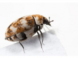 carpet-bugs